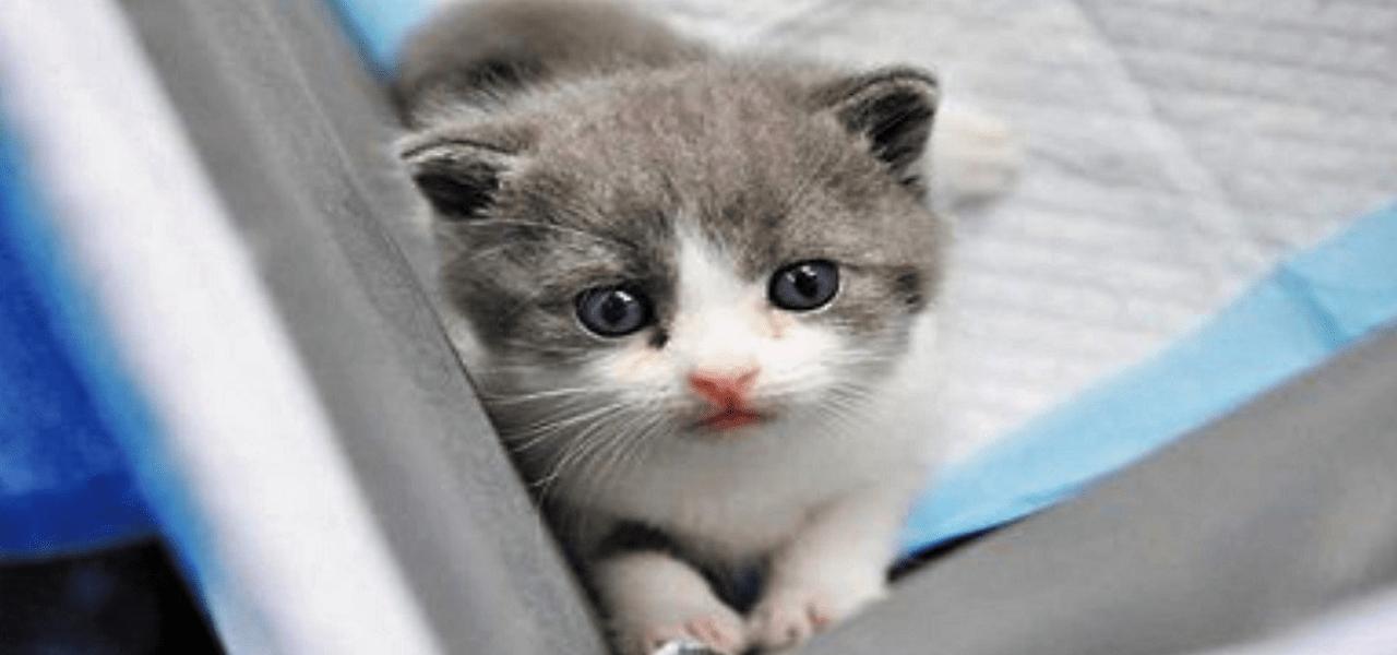 Garlic, el primer gato clonado con éxito vive en China