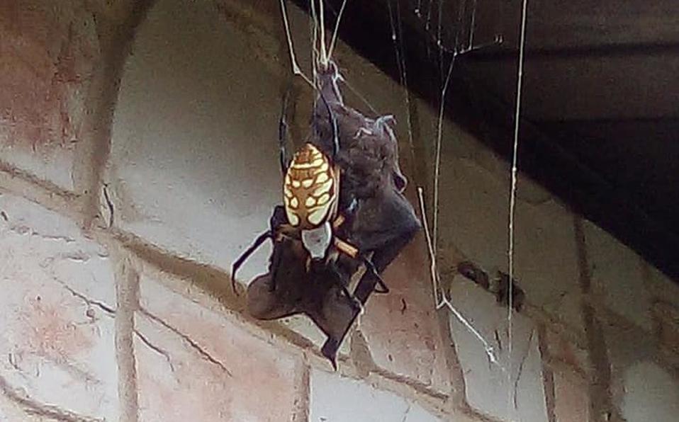 Graban a araña que devora a un murciélago del doble de su tamaño